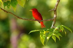 Summer Tanager , Summer Breeding, by davidgunter1  They are PURE beauty, a gem in the woods!