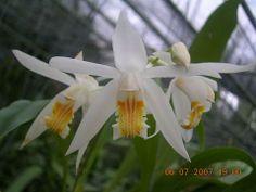 Coelogynae Trinevis
