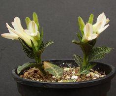 131 Best Jewel Orchids Images Jewel Orchid Orchids Plants