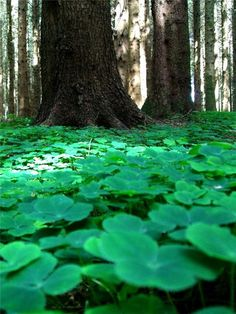 Forest Clover in Westmeath, Ireland