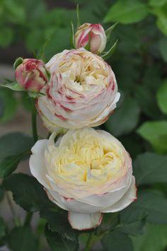 'Fruits'   Shrub Rose. Production in 2015 Japan Kimura TakuIsao production