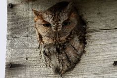 How to Attract Owls to Your Backyard: Adding an owl box to your backyard can help attract these raptors.