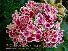 РС-Бог Солнца.  Репкина.Крупные, полумахровые и махровые красно-бордовые цветы с волнистыми краями и белой каймой образуют букет на фоне выставочной, средне-зелёной листвы.