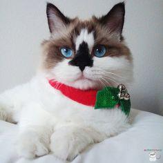 Christmas cat Catycat21