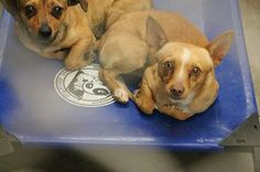 (dog on right) URGENT!!! Chihuahua male 2-3 years old. Kennel A12. Available NOW on 4/15!! $51 to adopt and save a life. This little one doesn't have much time left so if your'e thinking about it go down NOW before it's too late. Odessa TEXAS Animal Control. https://www.facebook.com/speakingupforthosewhocant/photos/a.248402621850650.69312.248355401855372/758958800795027/?type=1&theater