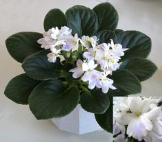White African violets