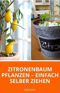 Zitronenbaum aus Zitronenkernen selber ziehen Lemons are not only incredibly tasty, they are also healthy! The vitamin C bombs strengthen the body's defenses, are the home remedy for colds and sup Balcony Plants, Patio Plants, Balcony Garden, Garden Plants, Cold Home Remedies, Garden Trees, Garden Projects, Planting Flowers, Garden Design