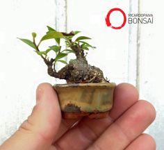 Ficus Microcarpa - 3 anos de treinamento. Vaso Sergio Onodera