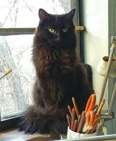 This cat looks exactly like my Spooks! Such an awesome cat. Black cats are the best! This cat looks exactly like my Spooks! Such an awesome cat. Black cats are the best! Animal Gato, Amor Animal, I Love Cats, Cute Cats, Funny Cats, Adorable Kittens, Pretty Cats, Beautiful Cats, Long Haired Cats