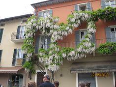Almost a heart-shaped Wisteria, Canobbio, Lake Maggiore.