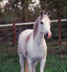 SS NAFEES 1992 grey mare