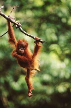 Young Orang-Utan (Pongo pygmaeus). Gunung Leuser National Park, Indonesia