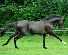 Akhal teke stallion, Mansur, in motion.