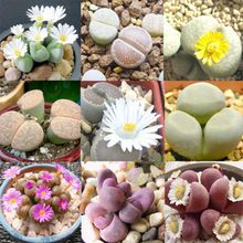 Bonsai flowers indoor fleshier plant health and stone flowers seeds bundle rabbit - 200 pcs seeds Cheap Plants, Buy Plants, Fruit Plants, Cactus Plants, Orchid Seeds, Flower Seeds, Succulent Seeds, Planting Succulents, Succulent Plants