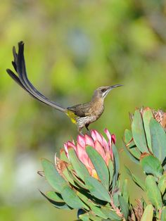 Cape Sugarbird (Promerops cafer) 17-02-2013