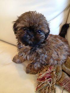 Scroll2Lol.com - My shih-tzu puppy