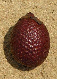 Fruto da palmeira Buriti (Mauritia flexuosa) em Mosqueiro, na cidade de Belém, capital do estado do Pará, Brasil.  Fotografia: Frank Krämer.