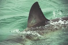 China Bans Shark Fin Soup at State Banquets—but Not for the Shark's Sake  http://www.takepart.com/article/2013/12/16/china-bans-shark-fin-soup-state-banquets?cmpid=foodinc-fb