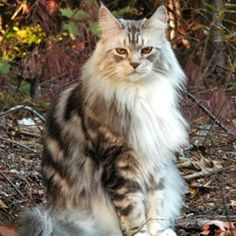 Classic Silver Maine Coon Cat - most awesome cat in the world!
