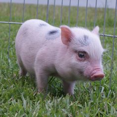 Carolina Mini Pig - Finn (AMPA) Mini Pigs For Sale, Juliana Pigs, Cute Animal Videos, Gif Pictures, Cute Animals, Pets, Happy, Pigs, Pretty Animals