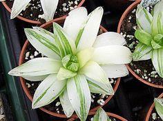 070136 Haworthia cymbiformis v. planifolia variegated – Highly ...