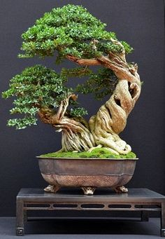 Bonsai Trees,