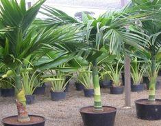 Areca Catechu - Palmeiras Plantas - Mudas, Árvores, Frutíferas, Ornamentais, Palmeiras