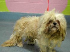 Brooklyn Center RALPH - A1021795 MALE, CREAM / WHITE, SHIH TZU MIX, 2 yrs STRAY - ONHOLDHERE, HOLD FOR ID Reason STRAY Intake condition EXAM REQ Intake Date 11/28/2014, From NY 11208, DueOut Date 12/01/2014 https://www.facebook.com/Urgentdeathrowdogs/photos/pb.152876678058553.-2207520000.1417366661./913556058657274/?type=3&theater