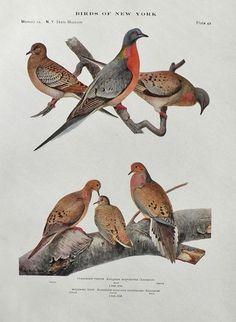 1910 Louis Fuertes Antique Bird Print ~ Passenger Pigeon & Mourning Dove