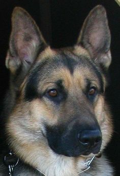 Sable German Shepherd, German Shepherd Puppies, German Shepherds, German Shepherd Temperament, Malinois, Large Dog Breeds, Small Breed, Love Dogs, Service Dogs