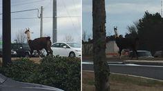 Llama on the loose on Georgia highway #ATLANTADENT http://www.cnn.com/2017/01/05/us/llama-roams-busy-road-in-athens-georgia/index.html