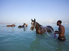 "Photograph by Susan Seubert;  ""Prized thoroughbreds stabled at the Barbados Turf Club enjoy water rubdowns from their groomers."""
