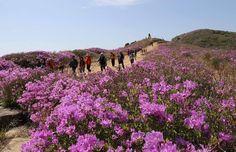5월이 오면 철쭉 꽃이불 덮은 황매산으로 오세요! 하늘과 맞닿을 듯 드넓은 진분홍빛 산상화원이 매년 5월 황매산에 펼쳐집니다.  The Hwangmaesan Royal Azalea Festival is held every year in May at Hwangmaesan County Park.