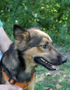 Orso, a young dog, is looking for a home. / Il giovane Orso cerca casa! info: adozioni@leudica.org