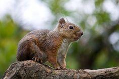 Japanese squirrel(Sciurus lis Temminck)ニホンリス
