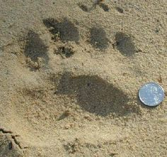 Black Bear Tracks - Images - Page 1 Bear Hunting, Animal Tracks, Sports Activities, Black Bear, Rodeo, Survival, Outdoors, Health, Animals