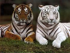 tigres - Cerca amb Google