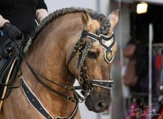 He is sooty dunalino (palomino + dun). His breed is unknown. It is presumed to be of Lusitano or Andalusian cross. Cowboy Horse, Horse Girl, Horse Tack, Most Beautiful Horses, Animals Beautiful, Beautiful Things, Palomino, Alter Real, Arte Equina