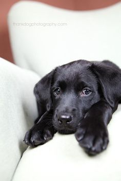 sweet-baby-jet baby black lab smooch!