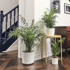 Sharon our Parlour Palm is the perfect plant for beginners and busy Londoners. Learn more about the Chamaedorea & buy online from Patch. Best Indoor Plants, All Plants, Outdoor Plants, Calathea, Amazing Gardens, Beautiful Gardens, Plantas Indoor, Corn Plant, Palmiers
