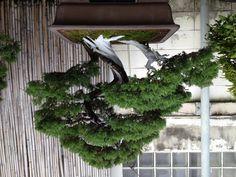 220,000 THB juniper bonsai, Nivat Bonsai, Chan Rd, Bangkok.
