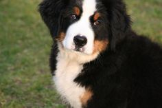 Berner Sennen puppy