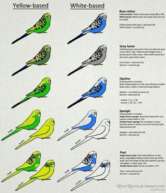 Budgies Mutations