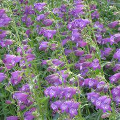 Penstemon mexicali Pikes Peak Purple