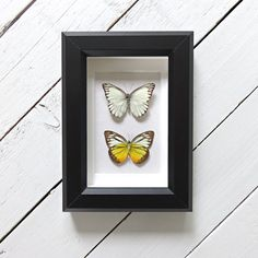Real framed butterflies: Prioneris clemanthe // shadowbox // front & back of butterfly // housewarming gift // natural decoration