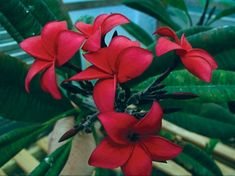 Red plumeria.  This site has all sorts of plumeria colors. Schmidt Red
