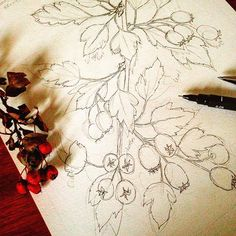 Sketching some hawthorn for my next #wip lines finished so ready to add some colour  . . . #drawing #draw #sketch #sketching #illo #illustration #botanical #botanicalillustration #botanicalart #botanicaldrawing #nature #natural #hawthorn #autumn #vintage #vintagestyle #artshare #cansonpaper #artstagram #followforfollow #loveart #artoftheday