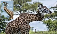 Giraffe with a broken zig-zag neck thrives in the wild for FIVE YEARS #DailyMail
