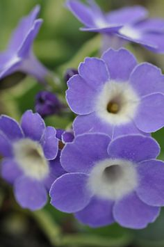 Primula 'Wharfedale Bluebell', gardening, landscaping, flowers