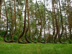 Krummer Wald in Polen (Gryfino) - crooked forest >> Der schwarze Planet » Der schwarze Planet